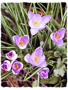 CHEERFUL CROCUS BRIGHTEN A WINTER'S DAY